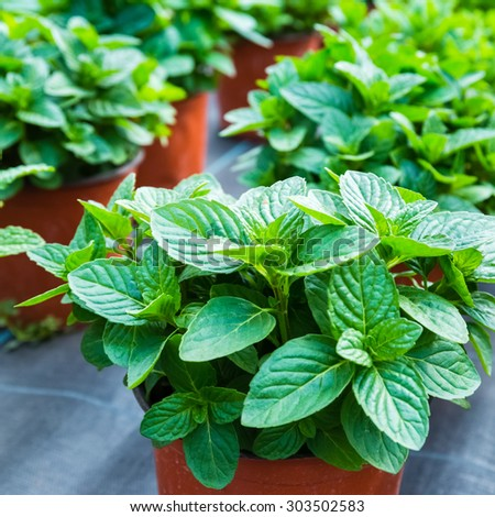 close up of the fresh green mint  - stock photo