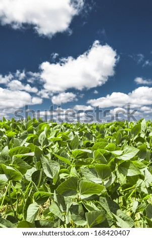 Close-up of the green leaves of a soybean plant field under a beautiful blue sky on a summer day - stock photo