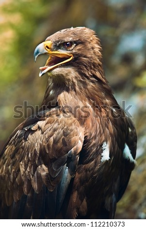 Close up of the head of a beautiful eagle, crossing of steppe and golden eagle with emphasis on the eagles eye. - stock photo