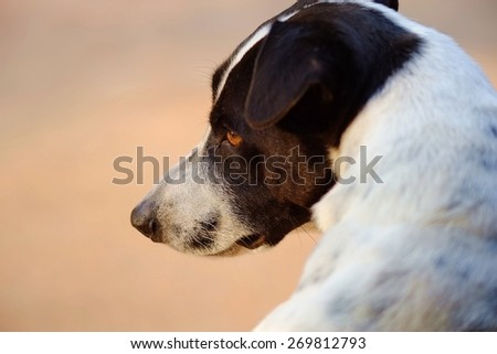 close up of the head of a dog is black and white  dalmatian dog no purebred.It look forward with vacant eyes. - stock photo