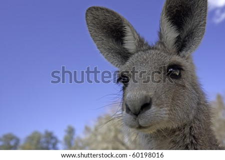 Close up of the head of a kangaroo in Australia - stock photo