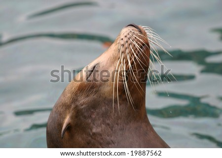 Close up of the head of a Sea Lion - stock photo