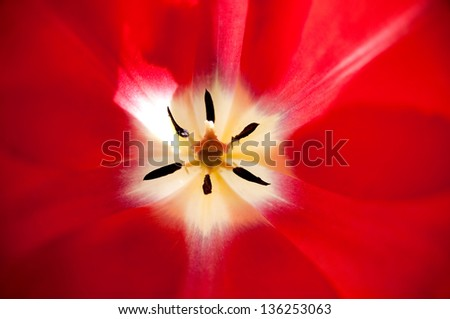 close up of the inner part of red tulip - stock photo