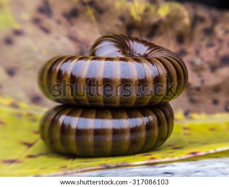 close up of the millipede slipping on leaf background. millipede in Thailand - stock photo