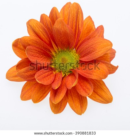 Close up of the orange chrysanthemum flowers - stock photo