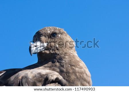 Close up of the petrel, sea bird - stock photo