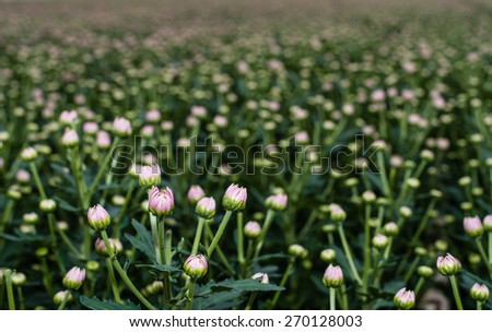 Close up of the pink buds of a great number of Chrysanthemum plants in the glasshouse of a specialized cut flower nursery in the Netherlands. - stock photo