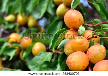 close-up of the ripe apricots in the orchard - stock photo