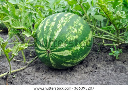 close-up of the ripening watermelon in the vegetable garden - stock photo