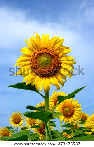 Close up of the sunflower.  - stock photo