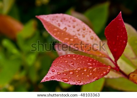 """Close-up of three red leaves of evergreen plant (Photinia fraseri """"Red Robin"""") after rain (Clipping Path included) - stock photo"""