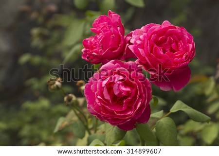 Close up of three vibrantly reddish pink roses growing together in a summer garden - stock photo