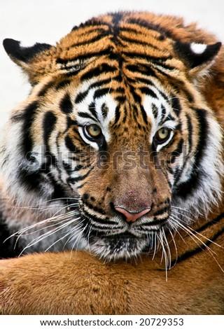 close-up of tiger face Tiger Panthera tigris, altaica - stock photo