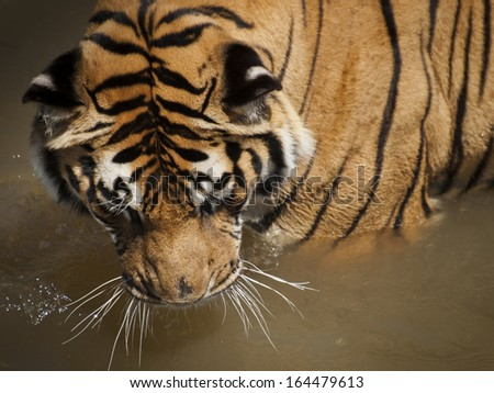 Close up of tiger in captivity. - stock photo