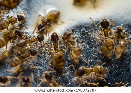 Close up of tiny household thief ants feeding on sweet - stock photo