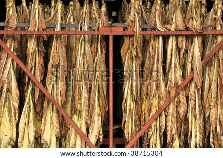 Close-Up of Tobacco Leaves Drying Horizontal - stock photo