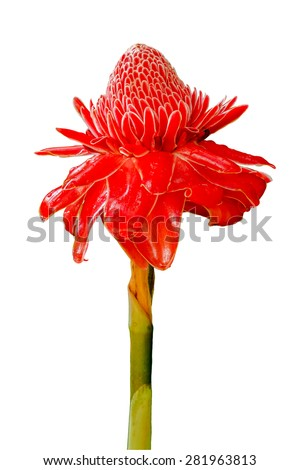 Close up of Torch ginger or Etlingera elatior blossom isolated on white background - stock photo