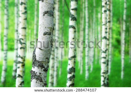 Close up of trunk of birch tree in grove with bright green colors - stock photo