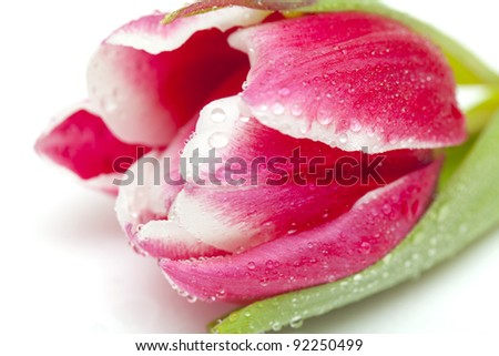 close up of tulip with water drops on white background - stock photo