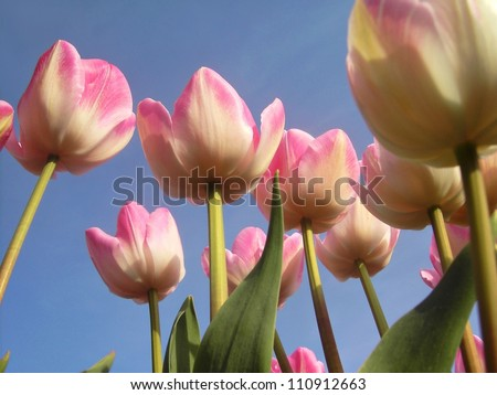 Close up of tulips in the spring of The Netherlands. - stock photo