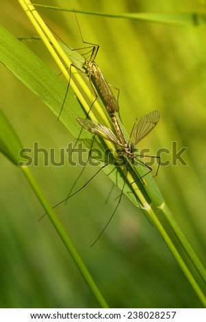 Close up of two coupling specimens of Crane Fly - stock photo
