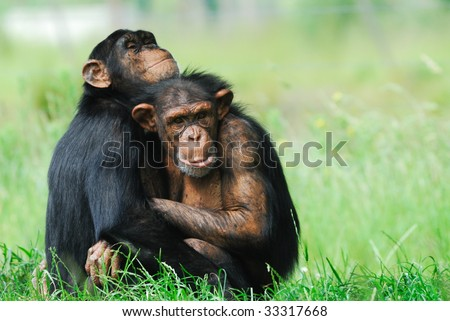 close-up of two cute chimpanzees (Pan troglodytes) - stock photo