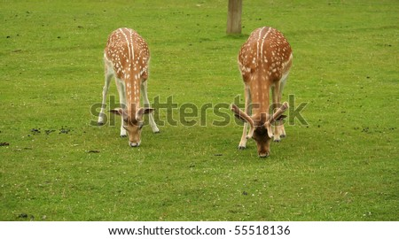 Close up of Two Deer feeding on grass. - stock photo