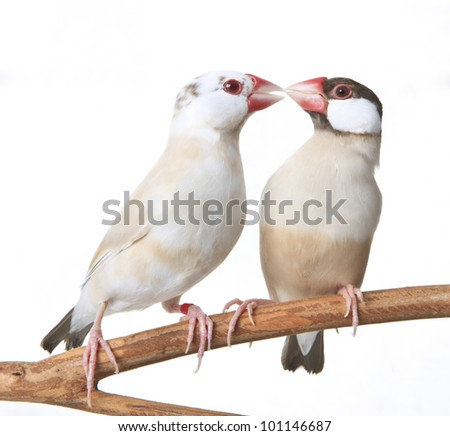 close up of Two Java Finches isolated on white background - stock photo