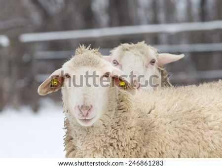 Close up of two sheep standing on snow on farm and looking at camera - stock photo