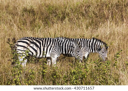 Close up of two  Zebras  grazing on dry winter grass in Nature Reserve in South Africa - stock photo