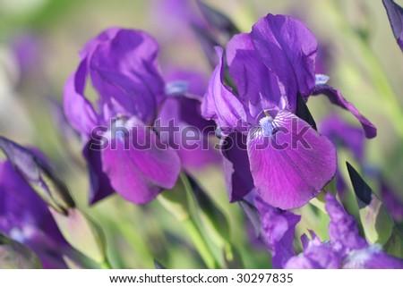 Close-up of violet iris - stock photo