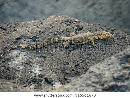 Close-up of water monitor or Varanus salvato crawl beside natural lake at Thailand - stock photo