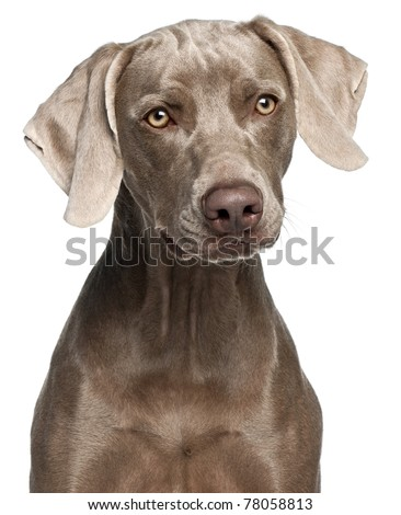 Close-up of Weimaraner, 12 months old, in front of white background - stock photo