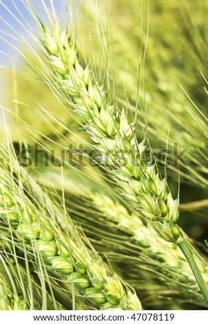 Close up of wheat ears on the field - stock photo