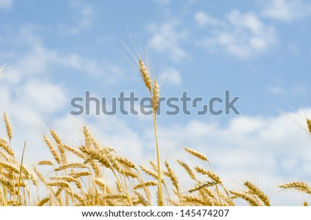 Close up of wheat in a wheat field over a blue sky - stock photo