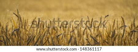 Close up of wheat ready to harvest - stock photo
