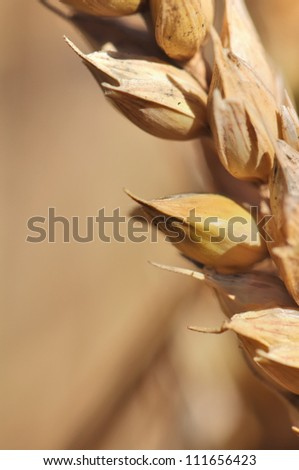 close up of wheat seed - stock photo