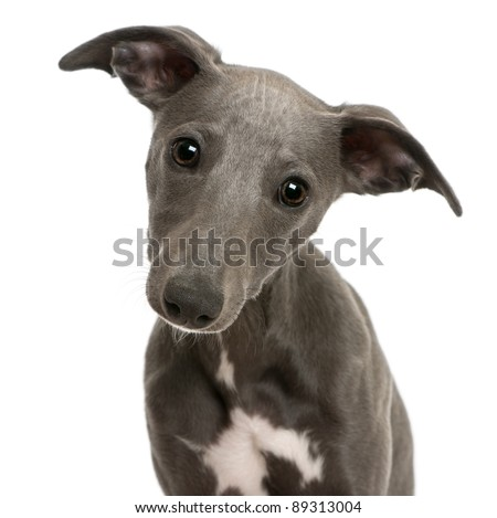 Close-up of Whippet puppy, 6 months old, in front of white background - stock photo