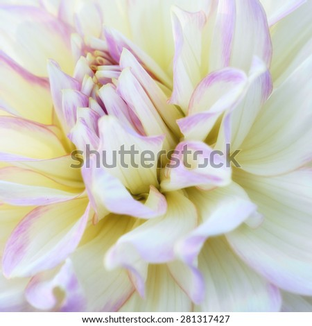 Close-up of white and purple chrysanthemum flower. Abstract blossom background. Soft focus, shallow DOF. - stock photo