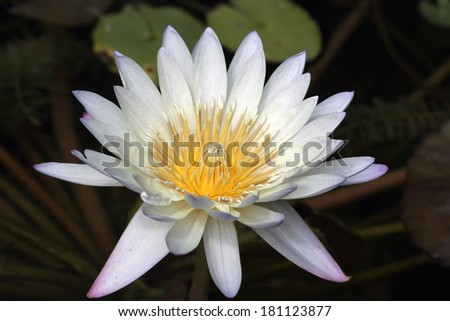 Close up of White and Purple Waterlily - stock photo