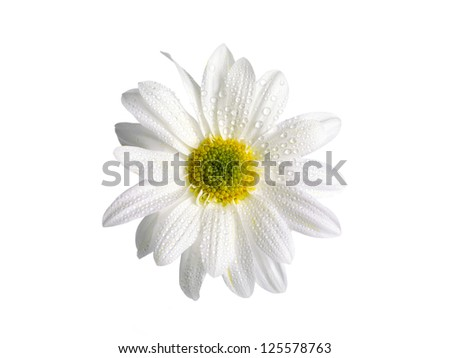 Close-up of white daisy with water droplets - stock photo