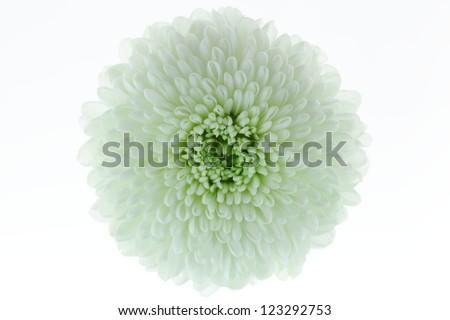 Close-up of white flowers.(Chrysanthemum) - stock photo