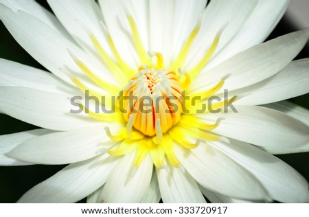 Close up of white lotus blossom on pond - stock photo