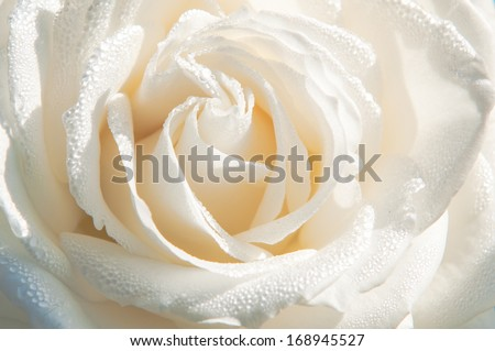 close up of white rose with drops - stock photo