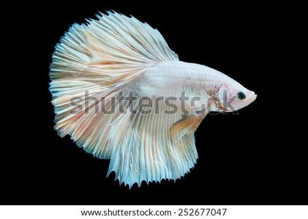 close-up of white siamese fighting fish (betta splendens) isolated on black background - stock photo