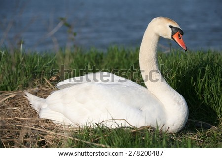 Close up of white swan - stock photo