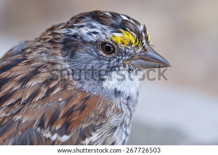 Close Up of White Throated Sparrow - stock photo