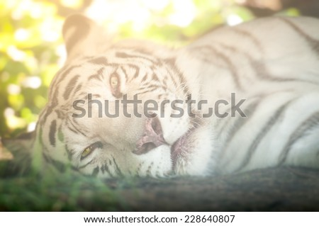 Close Up of White Tiger Lying Down on Side Looking at Camera - stock photo