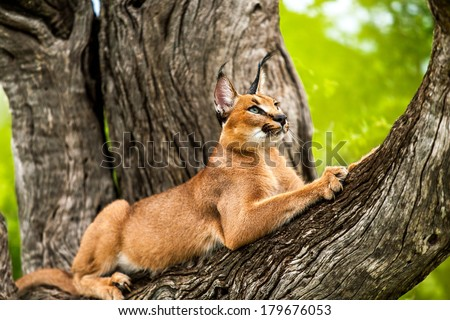 Close up of wild caracal cat stretching in tree. - stock photo