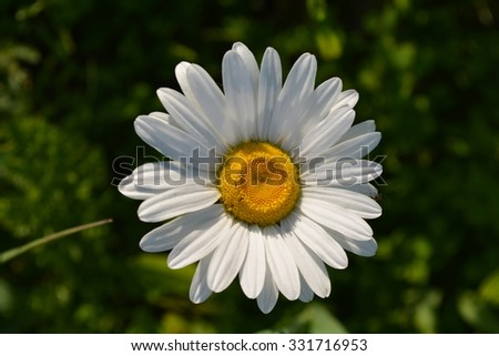 Close-up of Wild chamomile chamomile flower with bug. White flower - stock photo